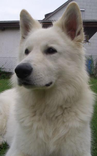 a_weisser_schaferhund-weisser_schaferhund_deckrude_elton_04-07_1