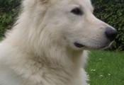 a_weisser_schaferhund-weisser_schaferhund_deckrude_elton_04-07_2